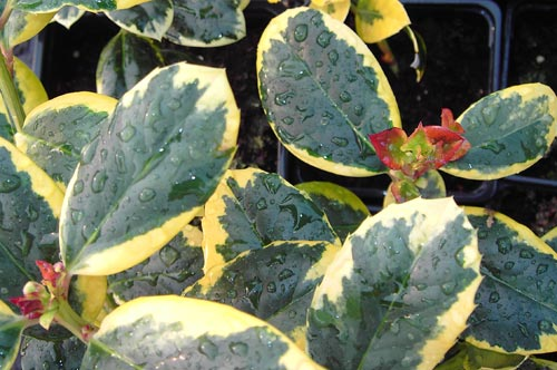 Golden King Holly Tree