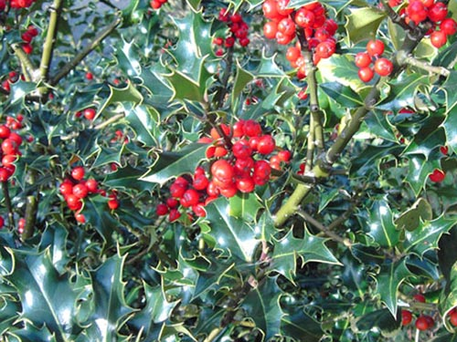 Native Holly Tree